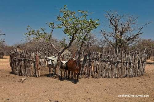 Химба живут скотоводством