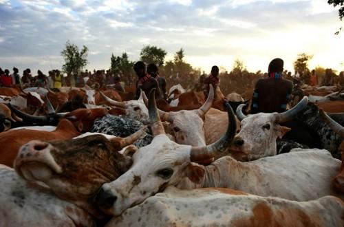 У хамер существует ритуал - бег по спинам быков.