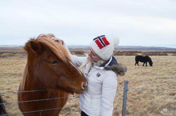 Исландские лошадки очень дружелюбные