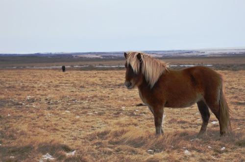 Исландские лошади на зиму обрастают очень длинной шерстью