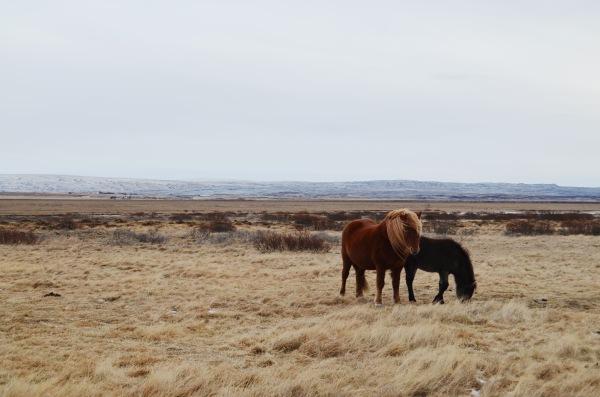 В скандинавской мифологии лошадей почитали, а исландская порода по легенде произошла от восьминогого коня Слейпнира, помощника верховного бога Одина.